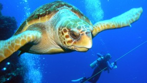 turtle-diver